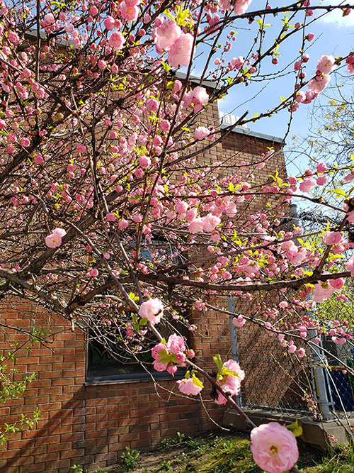 A photo of pink flowers on tree branches during the day