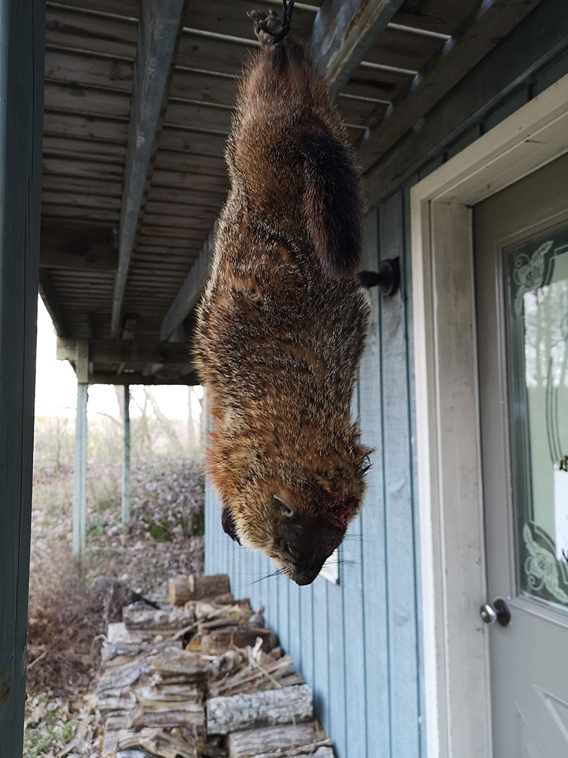 A picture of an animal hung upside down